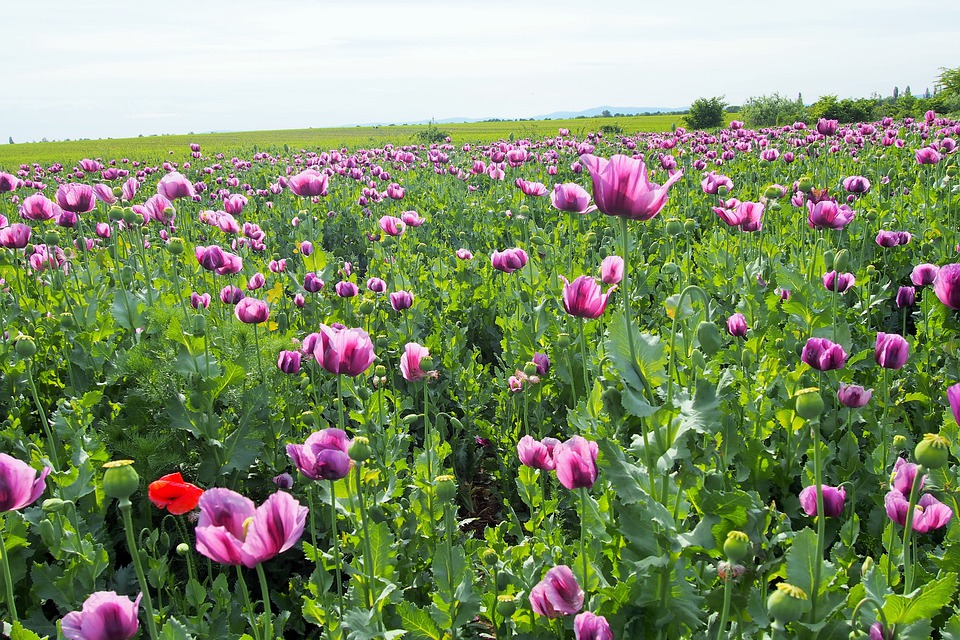 Poppy, Fields, Nature, Slovakia, Paradise, Flower