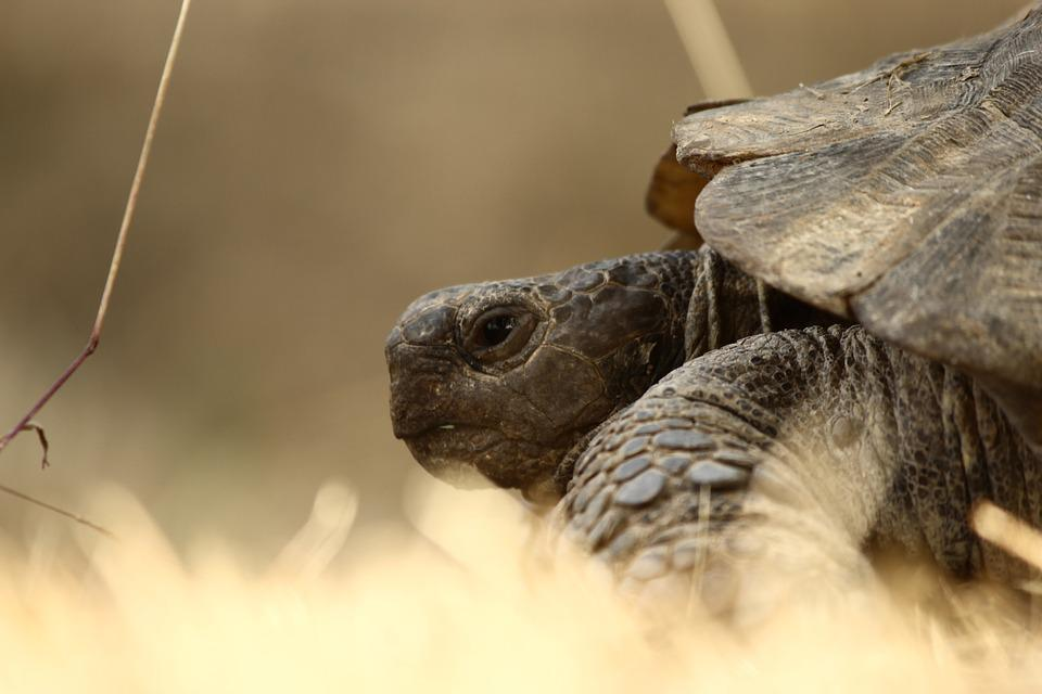 Tortoise, Animal, Slow