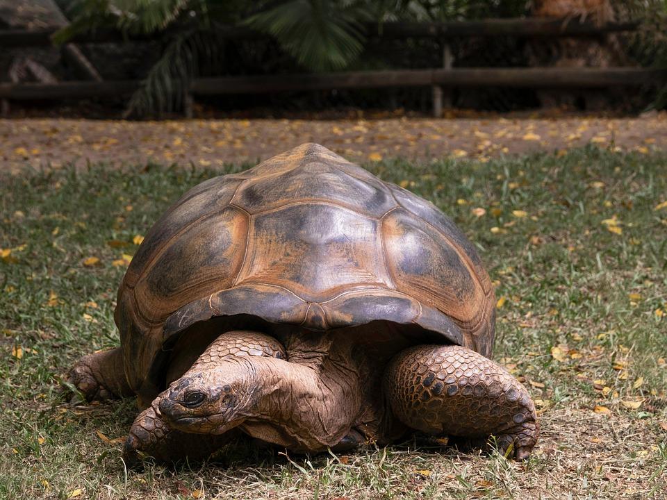 Tortoise, Large, Slow, Animal, Wildlife, Nature, Shell