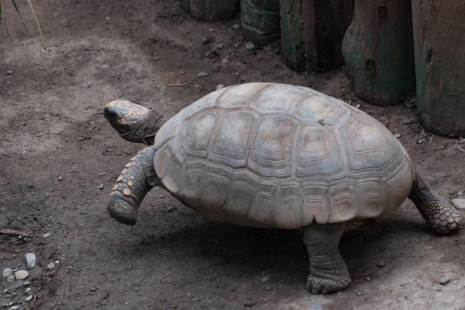 Turtle, Reptilia, Slow, Exoskeleton, Nature, Animalia