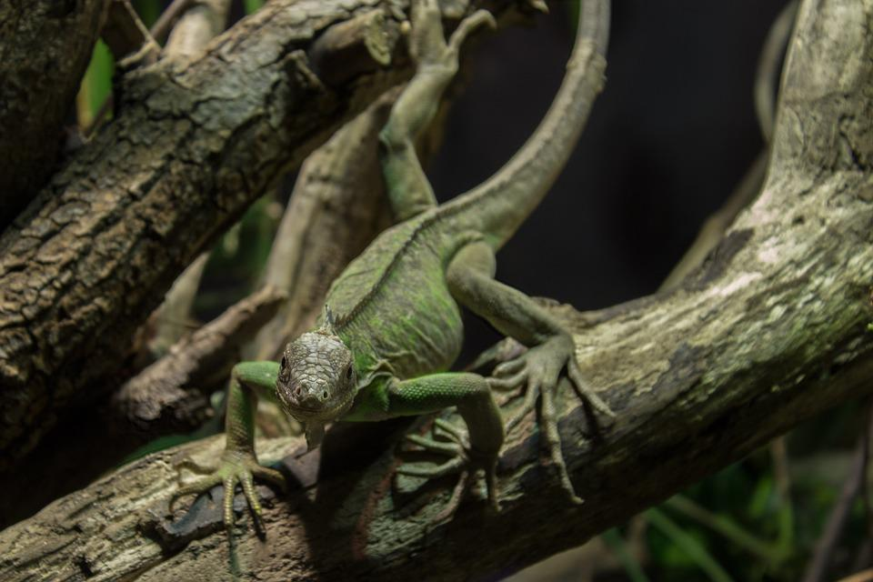 Small Antillean Iguana, Iguana, Animal, Reptile, Scaly