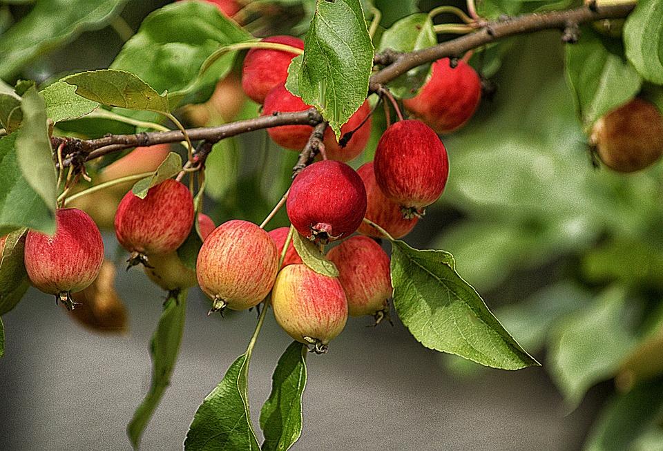 Apples, Fruit, Heavenly Apples, Small Apples