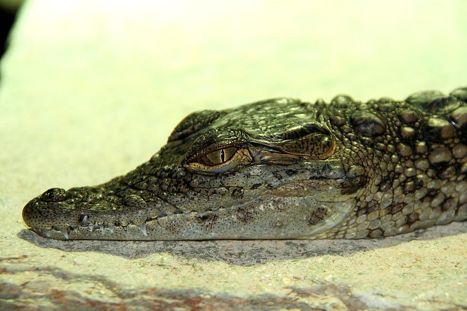 Crocodile, Baby, Reptile, Alligator, Nature, Small