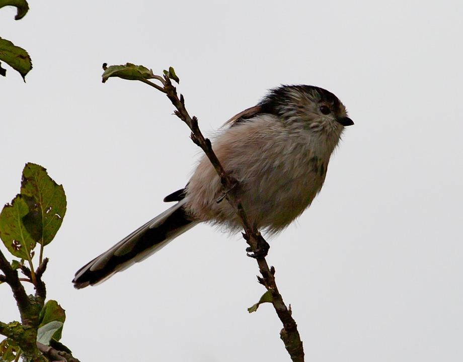 Long Tailed Tit, Bird, Small Bird, Long Tailed Bushtit