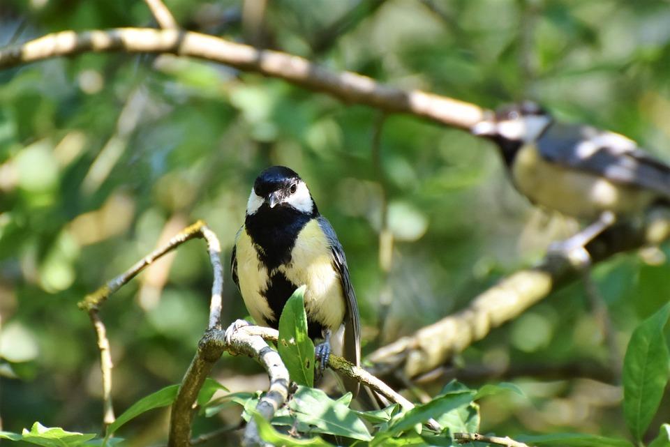 Tit, Songbird, Bird, Small Bird, Plumage