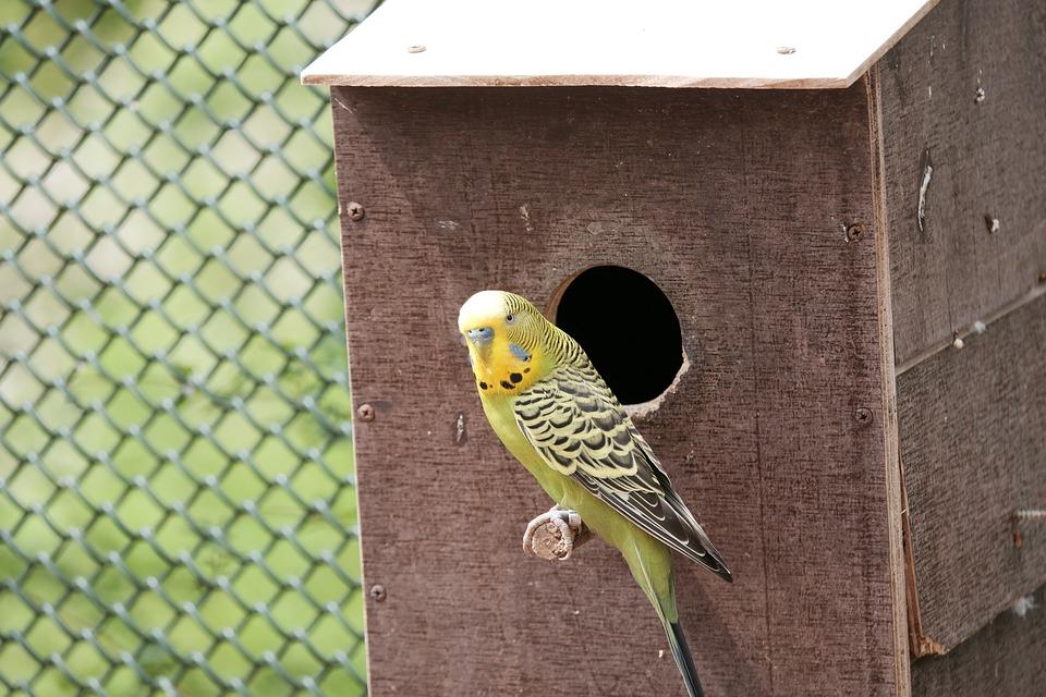 Budgie, Parakeet, Birds, Small Bird, Animals, Ziervogel
