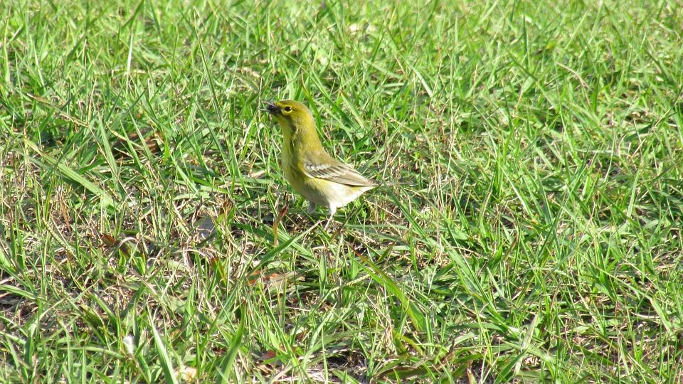 Pine Warble, Winter Birds Of Florida, Small Birds