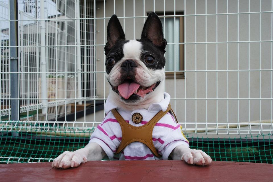 Boston Terrier, Pet, Dog, Dog Run, Small Breed Dogs