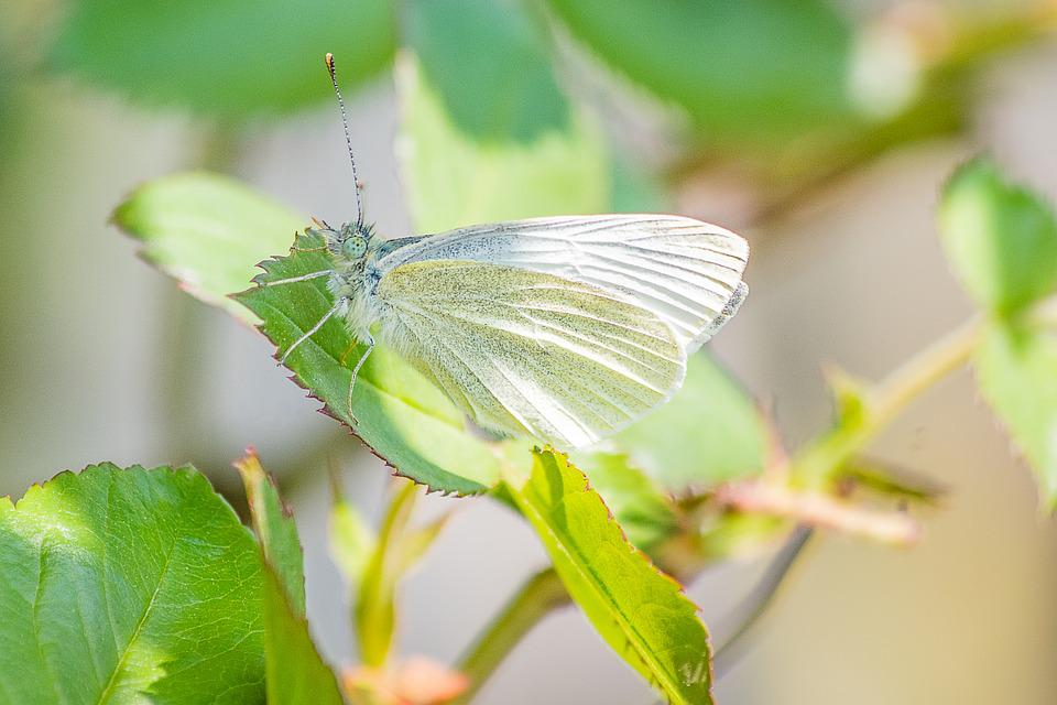 Butterfly, Insect, White Ling, Small Cabbage White Ling