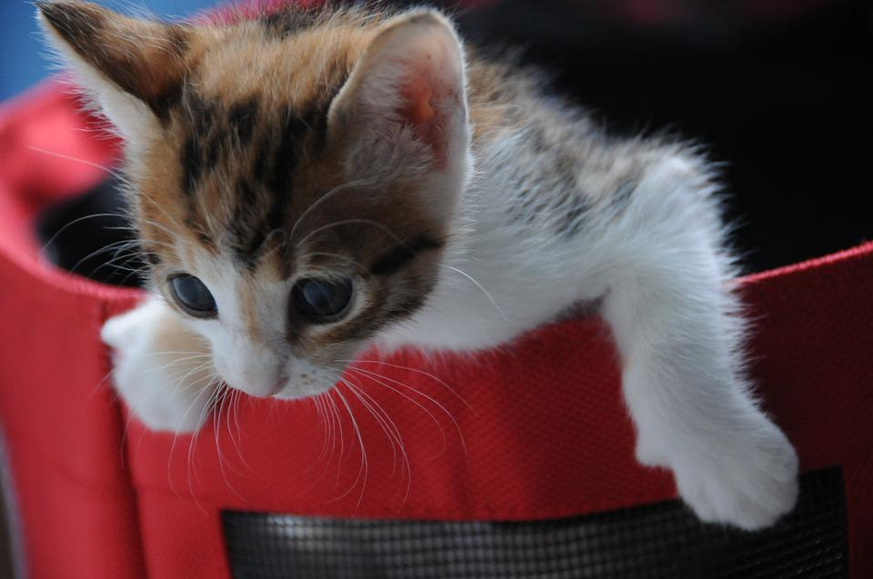 Small Cat, Play, Lively, Kitten