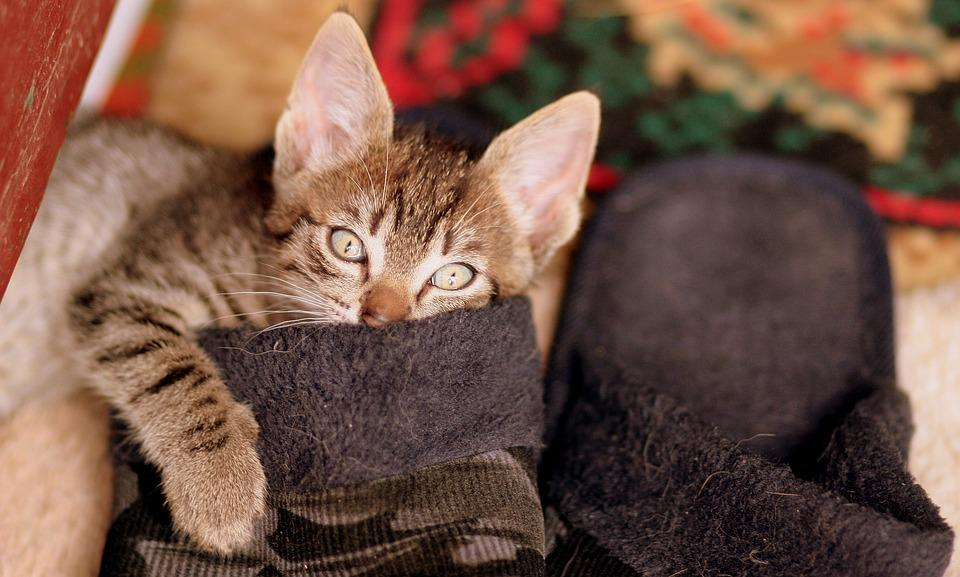 Cat, Play, Slippers, Funny, Small, Pet