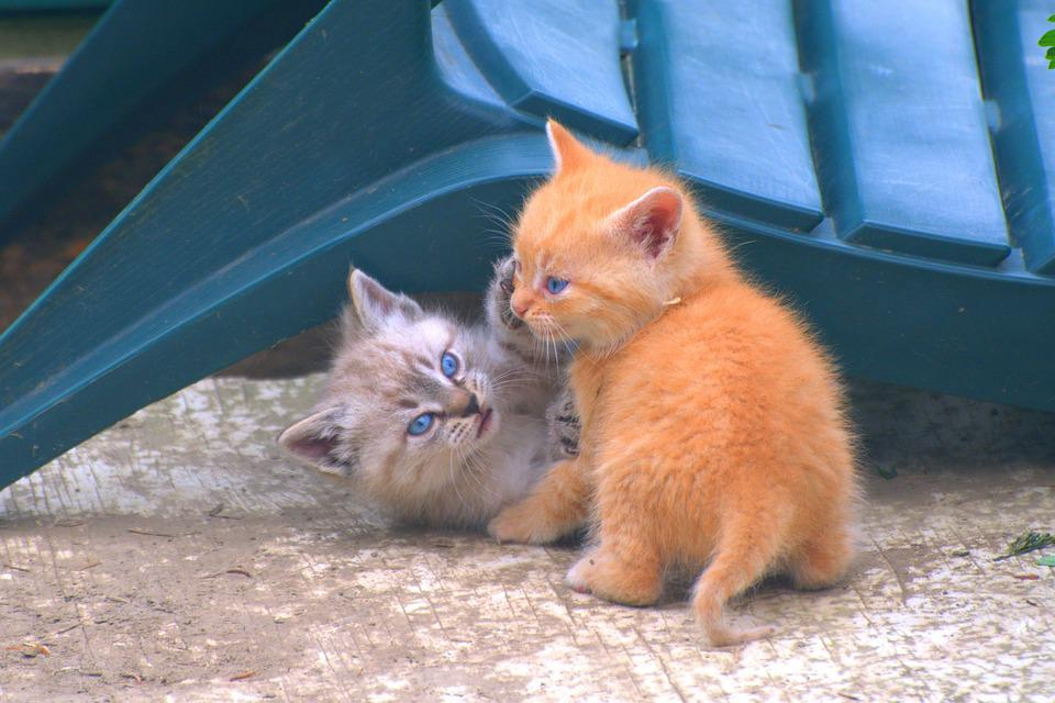 Kittens, Pets, Cat, Cute, Small, Young