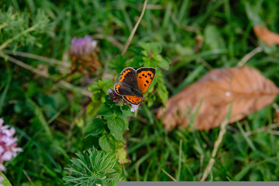 Pollination, Butterfly, Flower, Small Copper