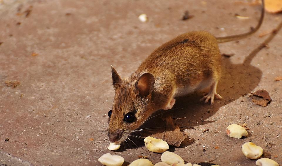 Wood Mouse, Nager, Cute, Small, Brown, Mouse, Nature