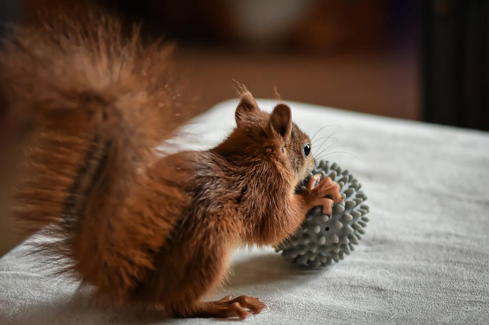 Squirrel, Young Animal, Play, Small, Young, Cute
