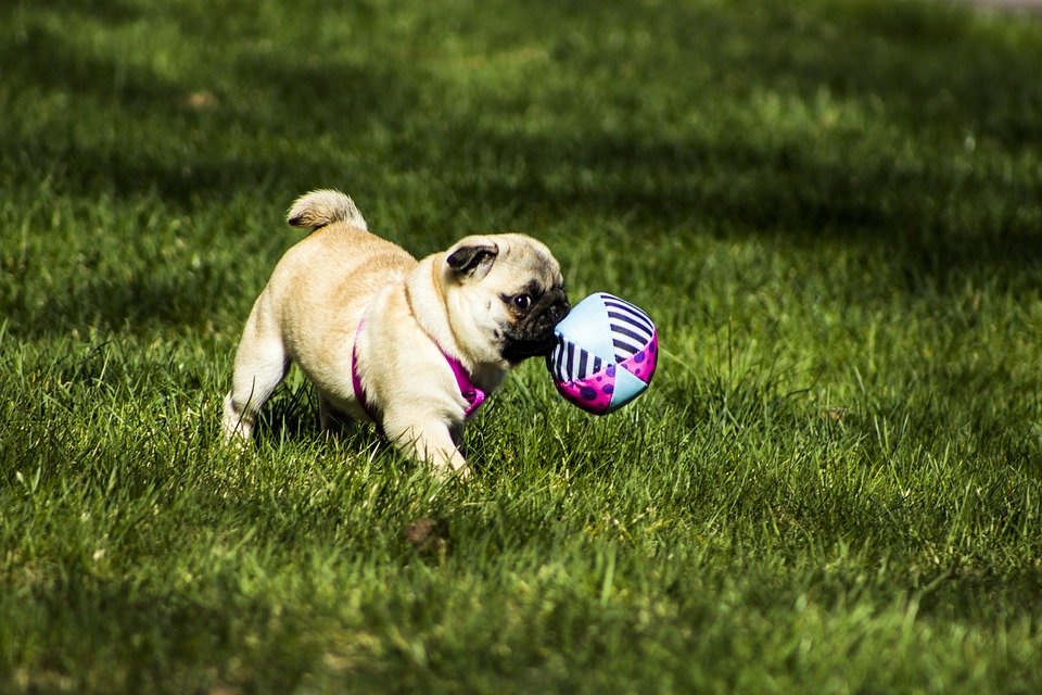 Pug, Puppy, Animal, Pet, Dog, Small, Funny, Cute
