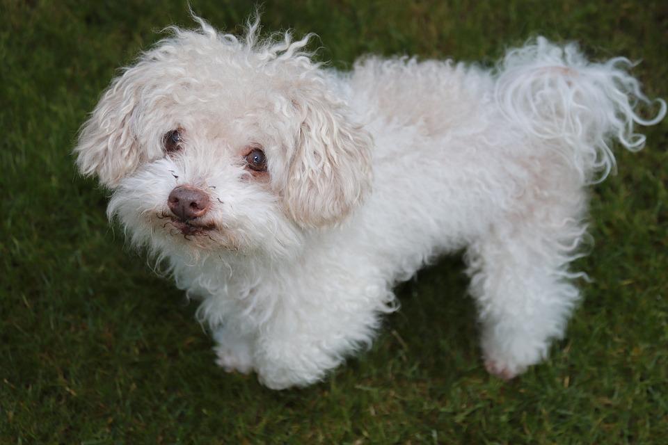 Bolonka Zwetna, Small Dog, Pet, Cute, Purebred Dog