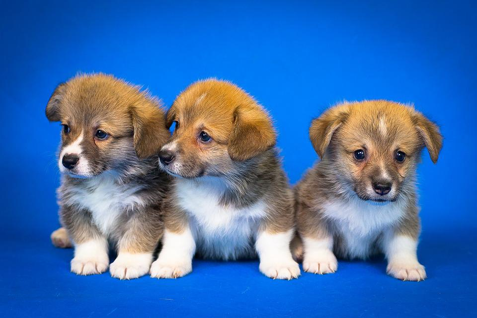 Welsh Corgi Pembroke, Puppies, Cute, Small Dog, Animals