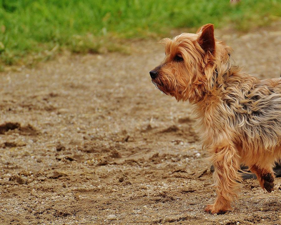 Yorkshire Terrier, Dog, Small Dog, Terrier, Yorkshire
