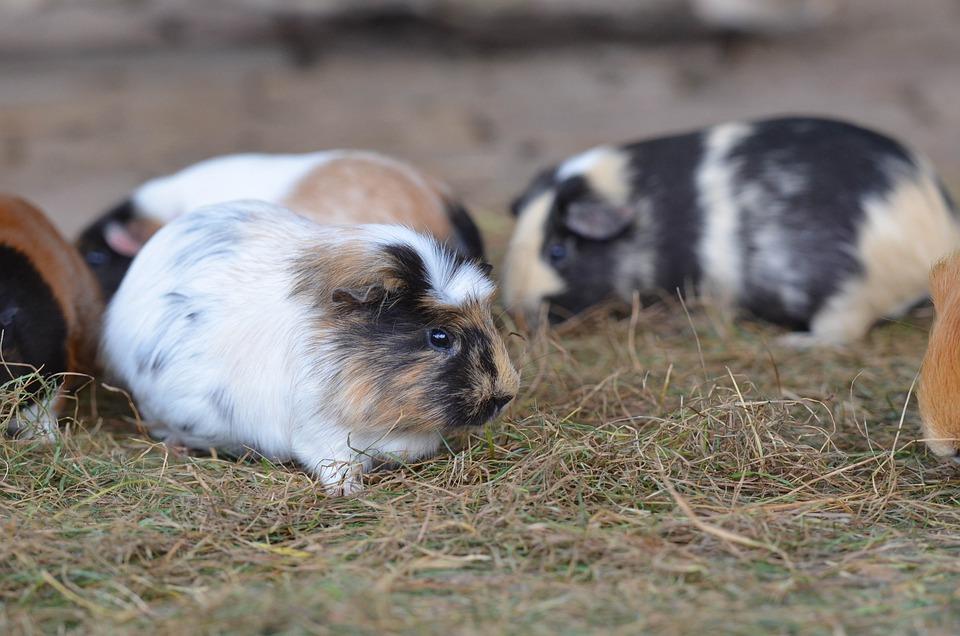 Guinea Pig, Zoo, Sweet, External Attitude, Eat, Small
