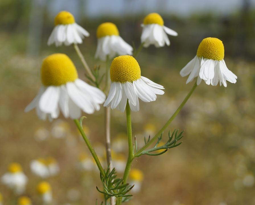 Genuine Chamomile, Field Flower, Small Flower