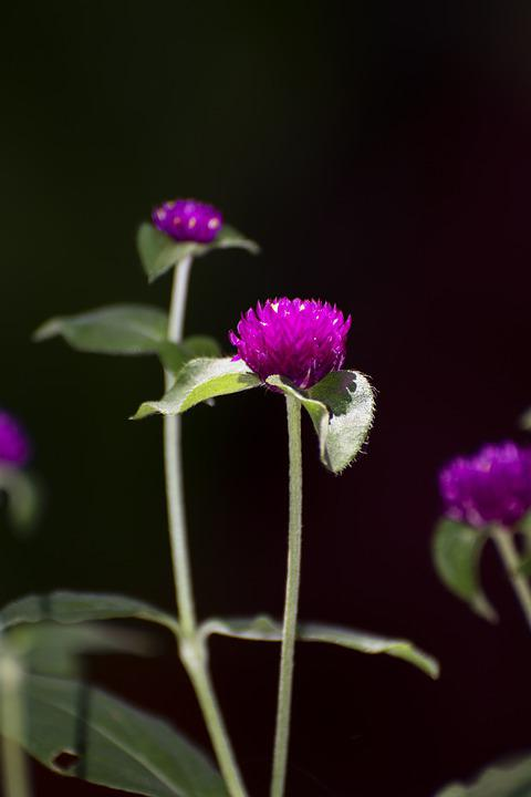 Globe Amaranth, Flowers, Purple Flowers, Small Flowers