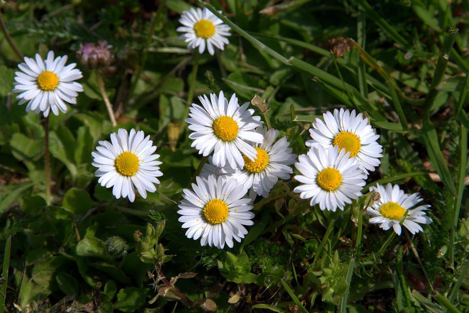 Daisies, Flowers, Small Flowers, The Delicacy, White