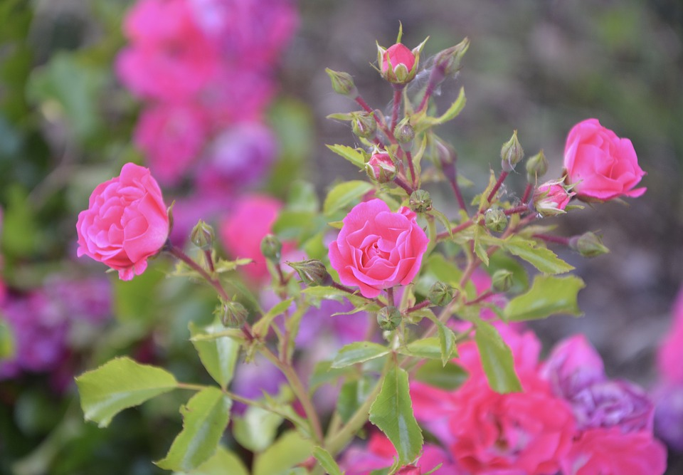 Pink, Small, Small Flowers, Garden, Nature, Flowers
