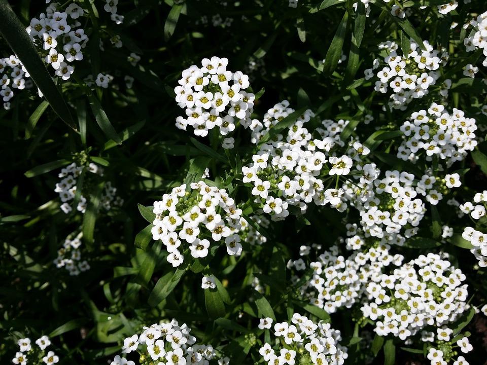 Flower, White Blossom, Small Flowers