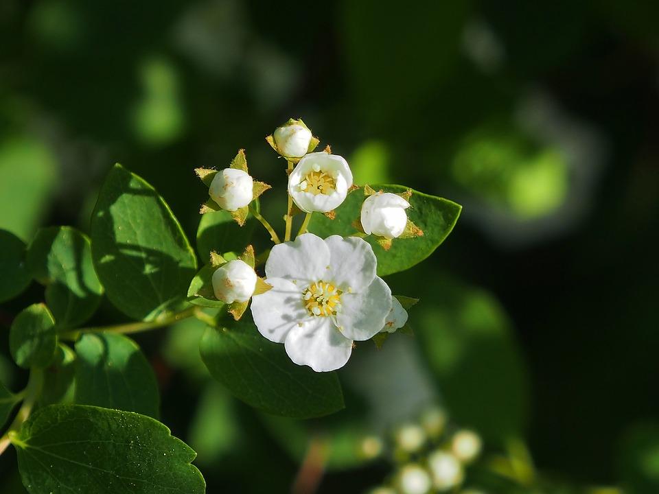 Free photo small flowers white spars shrub white flowers max pixel spars shrub white small flowers white flowers mightylinksfo
