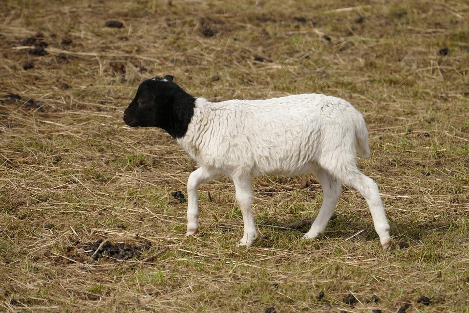 Goat, Farm, Black And White, Small Goat, Kid