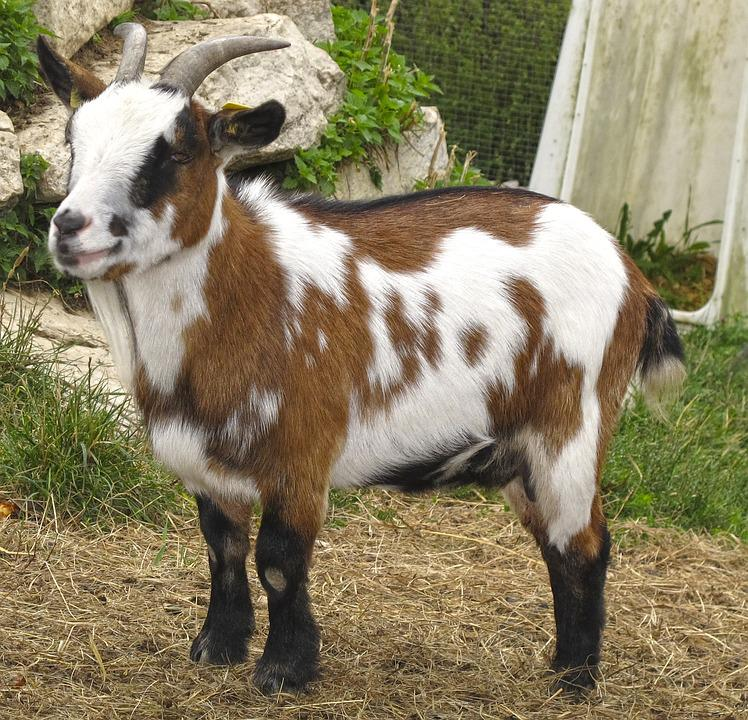 Goat, Kid, Small Goat, Young Animal, Domestic Goat