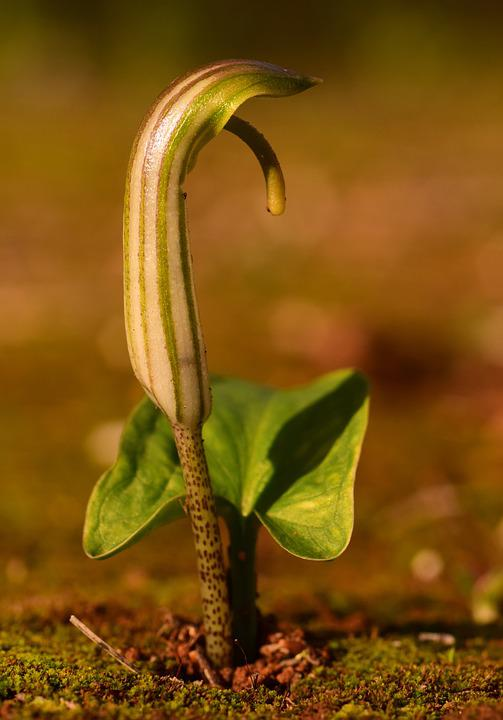 Pointed Flower, Spring, Sprout, Awakening, Green, Small
