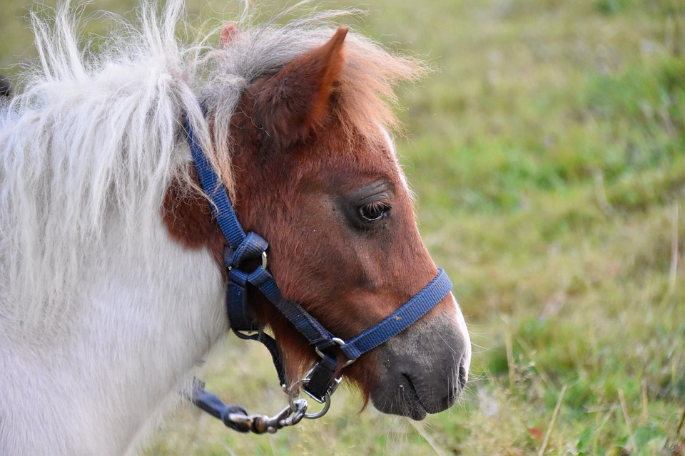 Pony, Small Horse, Portrait Of Shetland Pony, Mane