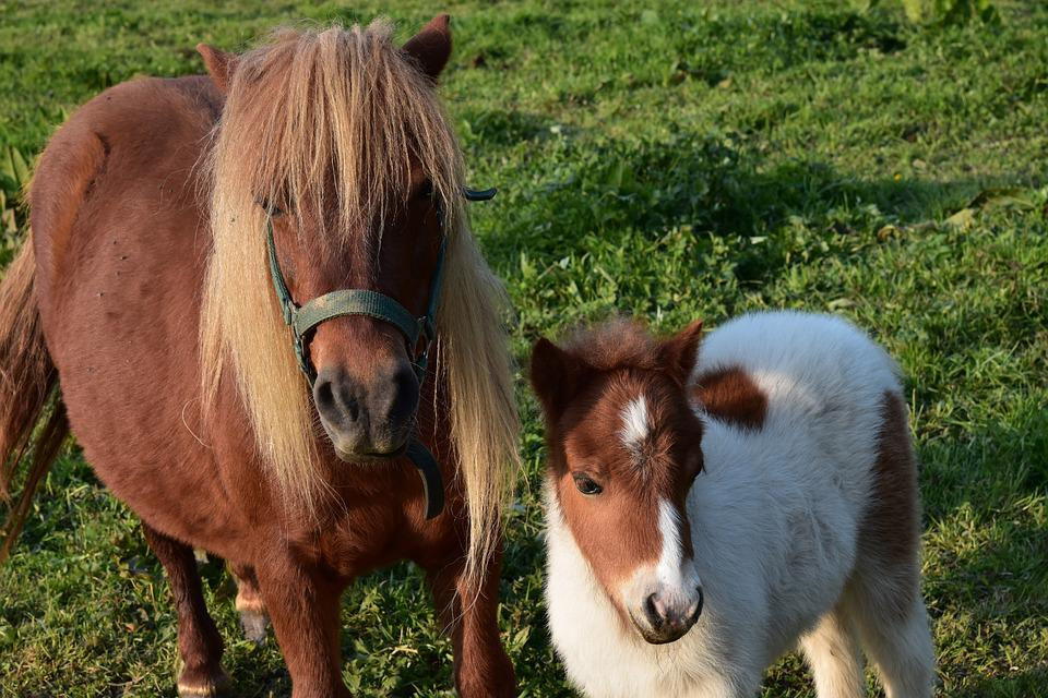 Shetland Pony, Mother Pony And Her Foal, Small Horse