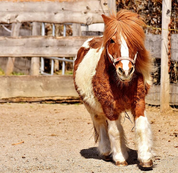 Pony, Run, Cute, Small Horse, Brown, White, Animal