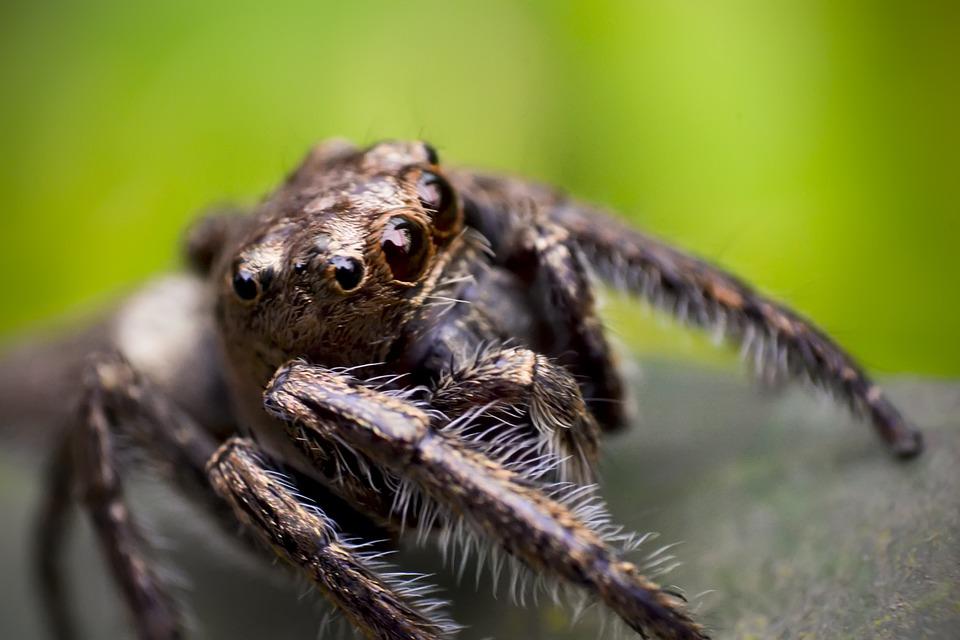 Spider, Jumping, Macro, Nature, Small, Closeup