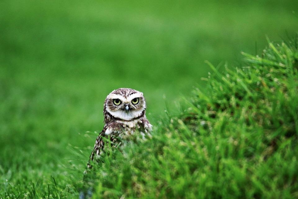 Burrowing Owl, Small Owl, Bird, Burrowing, Wildlife