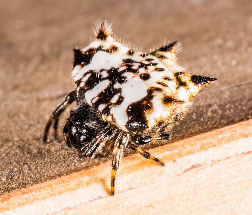 Small Spider, Arachnid, Close, Hairy, Alie