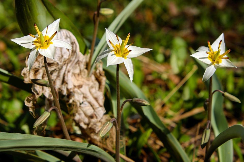 Star Tulip, Small Star Tulip, Blossom, Bloom, Flowers