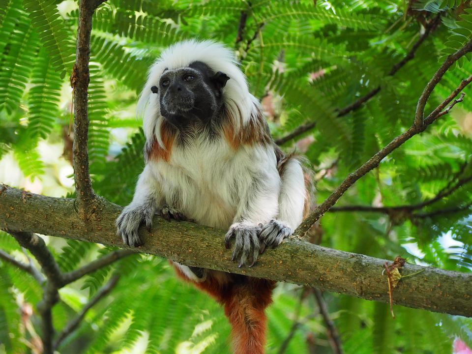 Cottontop Tamarin, Small, Monkey, Sweet, Cheeky, Zoo