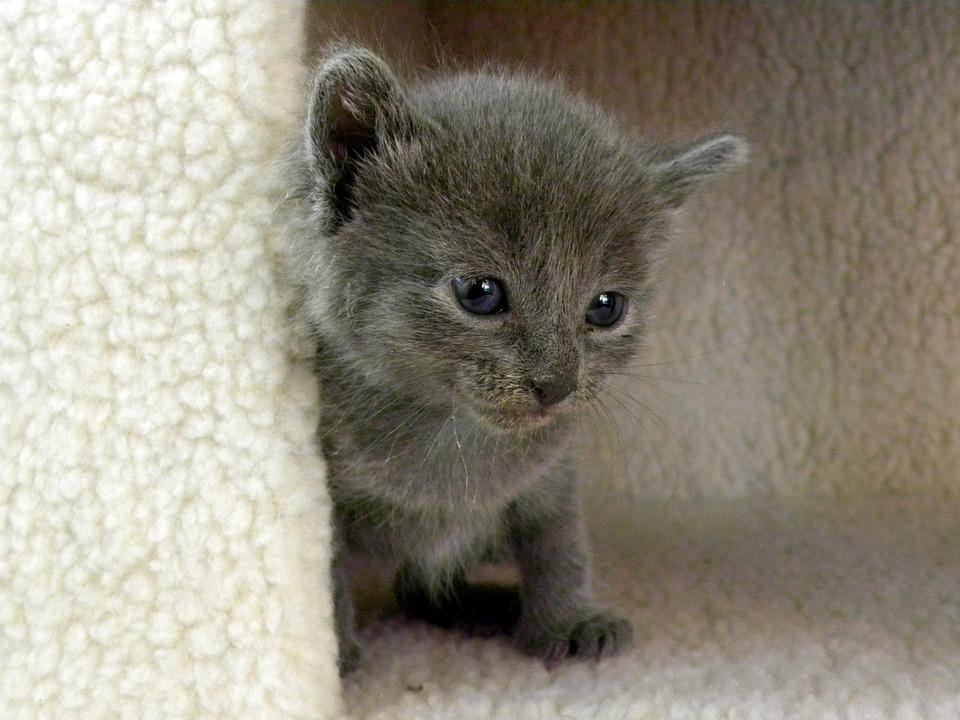 Kitten, Grey, Life, Cat, Animal, Cute, Young, Small