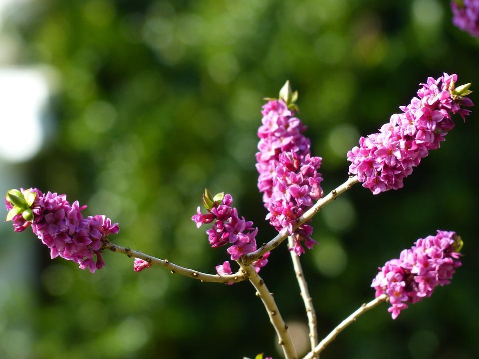 Daphne, Smell, Bloom, Violet, Purple, Branch, Plant
