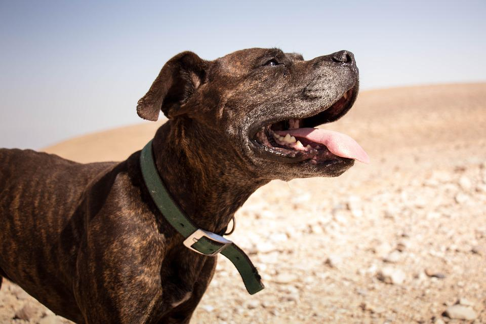 Dog, Desert, Happy, Smile, Happiness, Animal, Nature