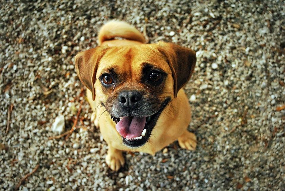 Pug, Dog, Happy, Smiling, Pet, Happy Dog, Cute