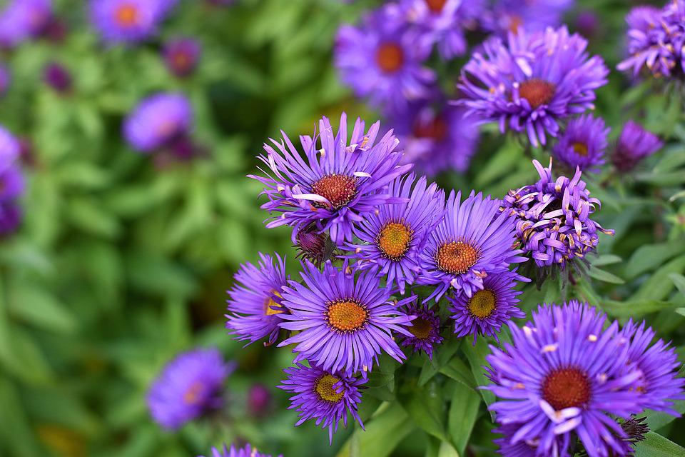 Aster, Smooth Aster, Aster Laevis, Faded