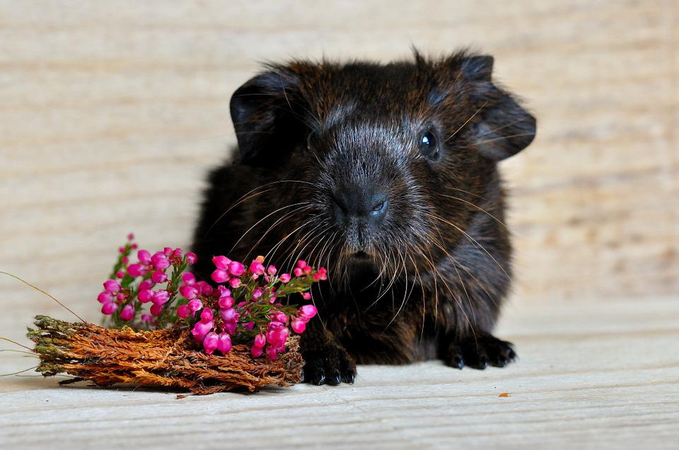 Guinea Pig, Smooth Hair, Gold Agouti, Young Animal