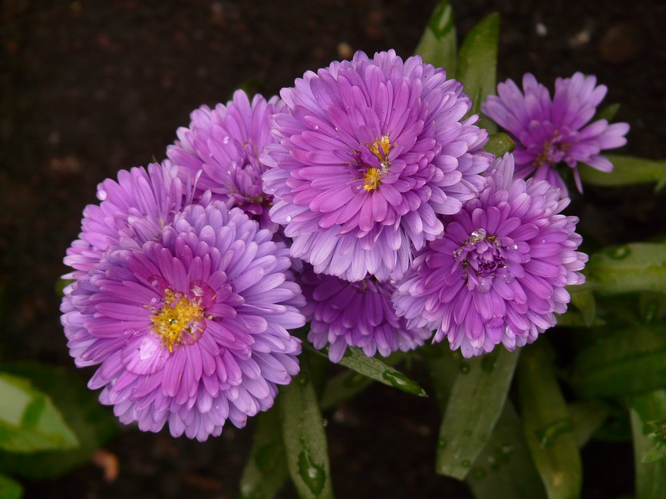Free photo smooth leaf aster flower aster garden aster plant max pixel smooth leaf aster aster garden aster flower plant mightylinksfo
