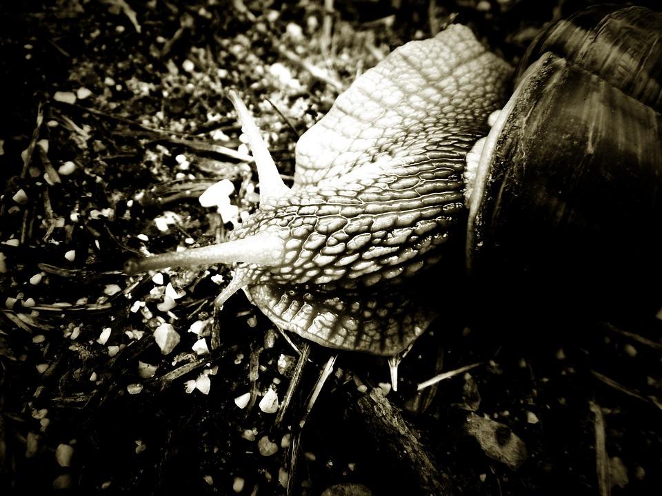 Snail, Black And White, Animal, Summer