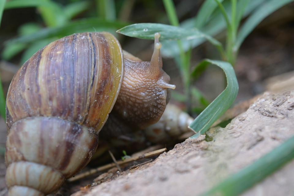 Snail, Clams, Ramble, Hoi Thailand, Cornfield